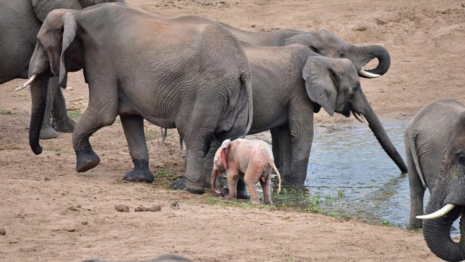 Extremely Rare Albino Baby Elephant Spotted In African Wildlife Park