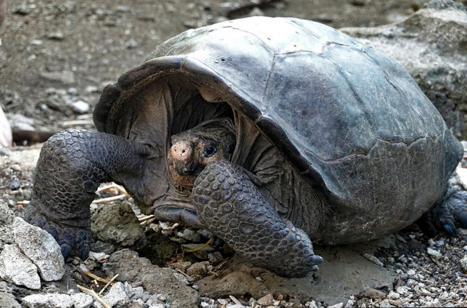Giant Tortoise Species Meant to Be Extinct Found Alive in the Galapagos