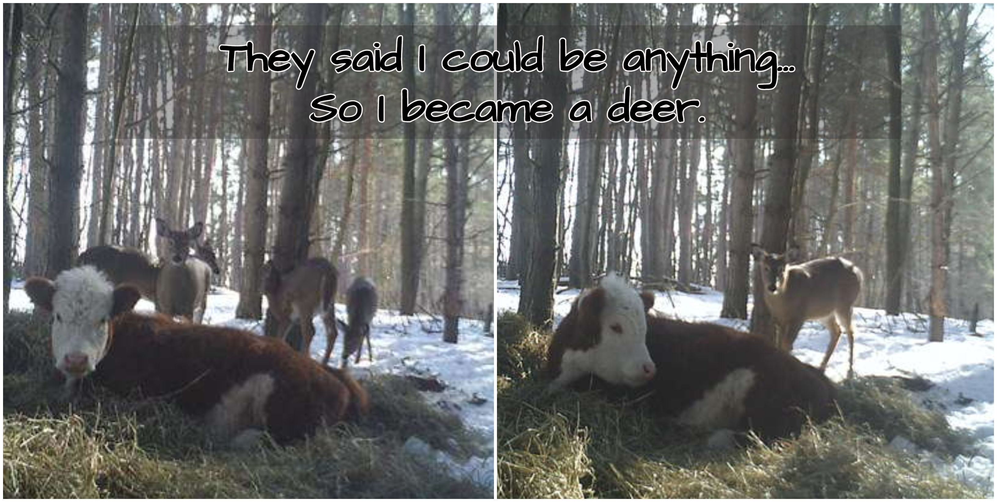 Calf Adopted By Deer Family In The Woods After Escaping Slaughter