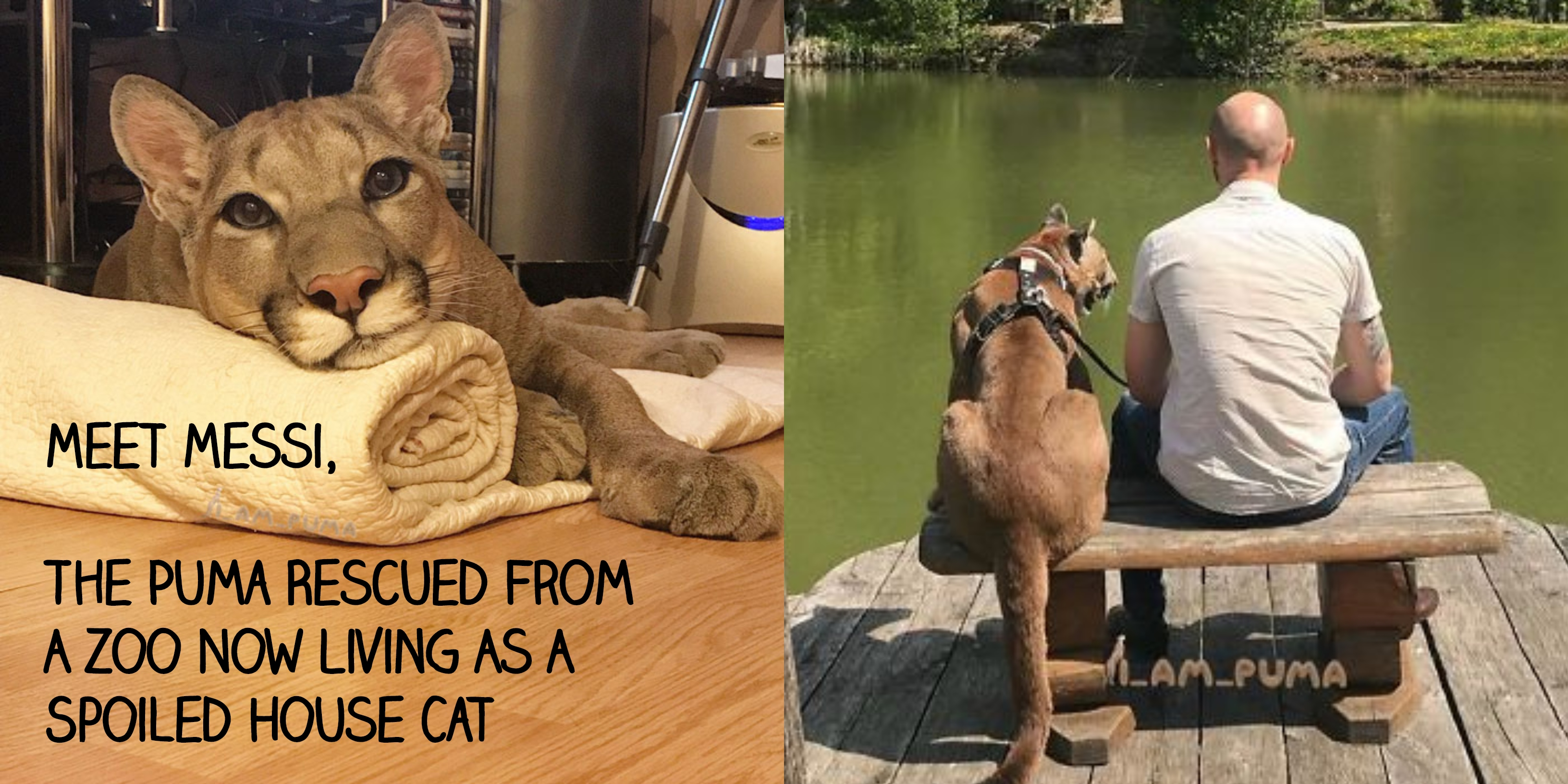Meet Messi, The Puma Rescued From A Zoo Now Living As A Spoiled House Cat