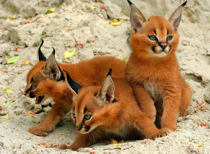 Adorable Photos Of Baby Caracals, One Of The Most Beautiful Cat Species