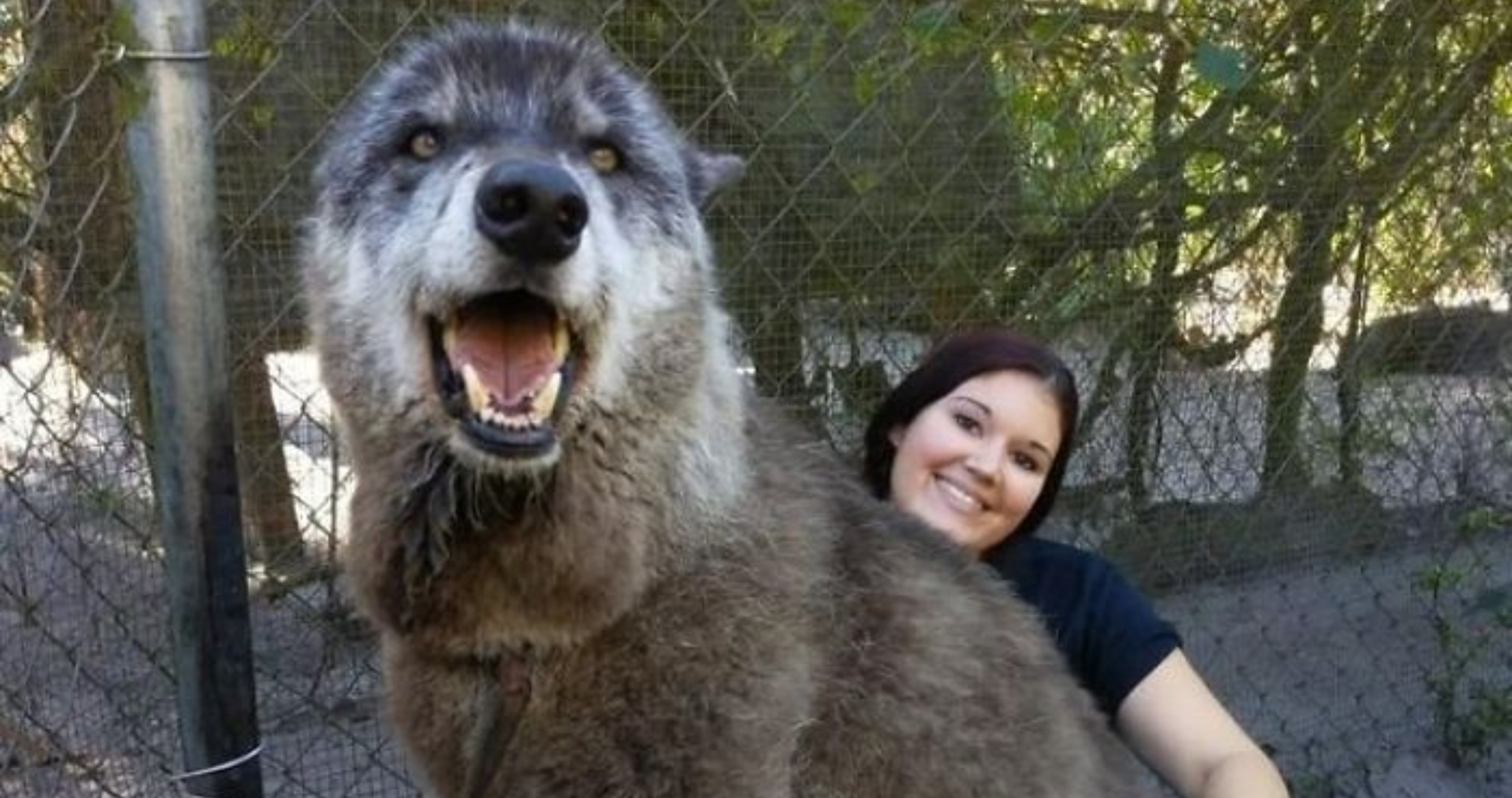 This Wolf-dog Was Dumped For Being Too Big To Handle But Luckily Someone Saved Him
