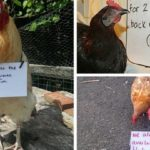 Chicken Shaming Photos Are All You Need To Have A Good Laugh